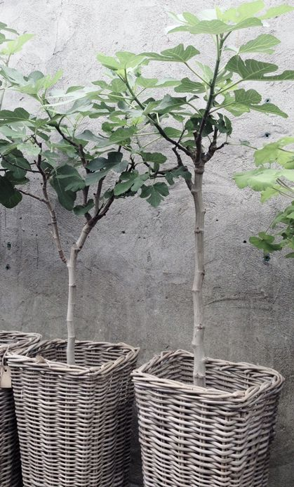 Potted fig trees in rattan baskets. Lovely.