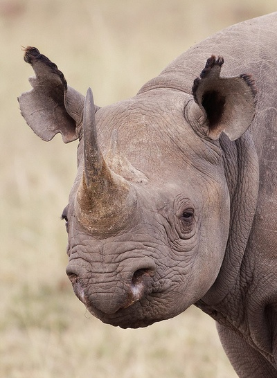 Black Rhino, Masai Mara, Kenya, July 2011 by Olivier DELAERE on Flickr.