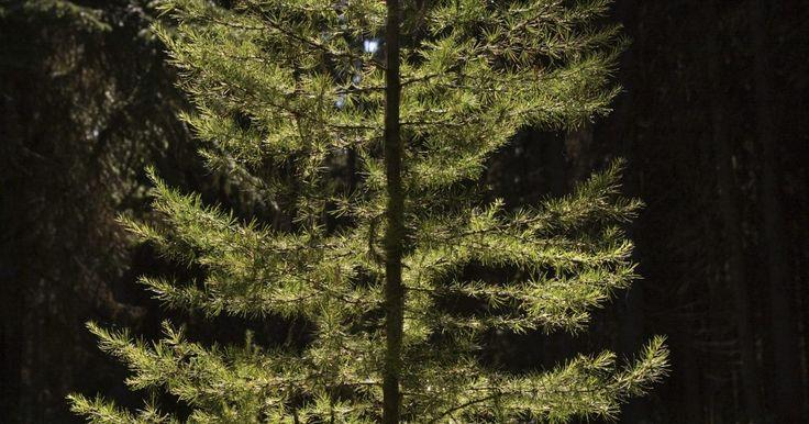 Diámetro vs. edad del pino. A medida que un árbol de pino crece, el tronco y las ramas se hacen más gruesas. Cada año añade otra capa de madera. Contando estas nuevas capas o anillos puedes determinar la edad del árbol con bastante precisión, pero la tala de un árbol sólo para determinar su edad no es muy práctico o beneficioso para el medio ambiente. Otros métodos, como el ...