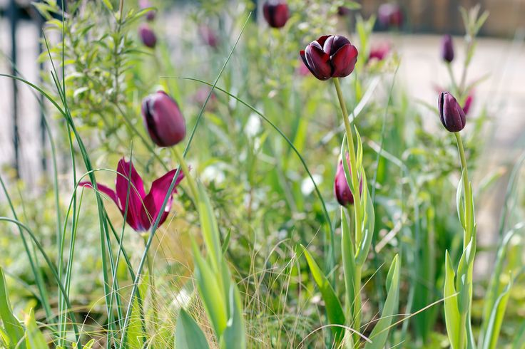 Tulip 'Queen of the Night' and 'Havran', Albion Drive