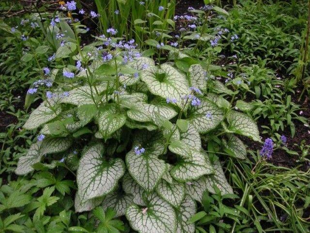 plantes d'ombre buglosse-de-Siberie-idees-deco-exterieure
