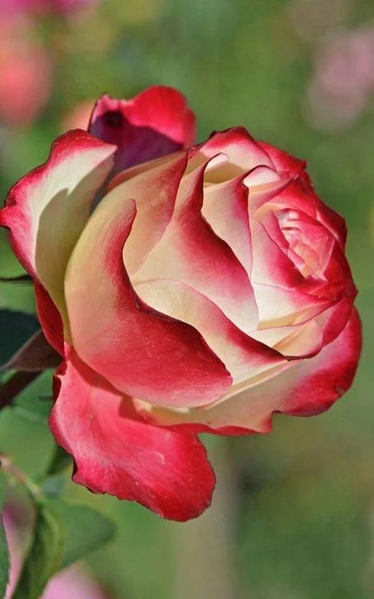 1514 besten roses bilder auf pinterest exotische blumen gemalte rosen und sch ne blumen. Black Bedroom Furniture Sets. Home Design Ideas