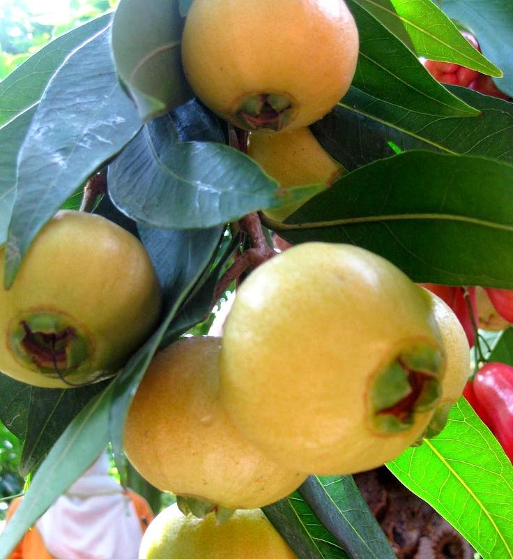Rose Apple or Jambu Mawar (Syzygium jambos)