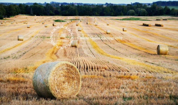 Hay Fields at Harvest Photography Backdrop. Golden Hay fields taken in New Tecumseth, ON. To order backdrop visit www.backdropscanada.ca