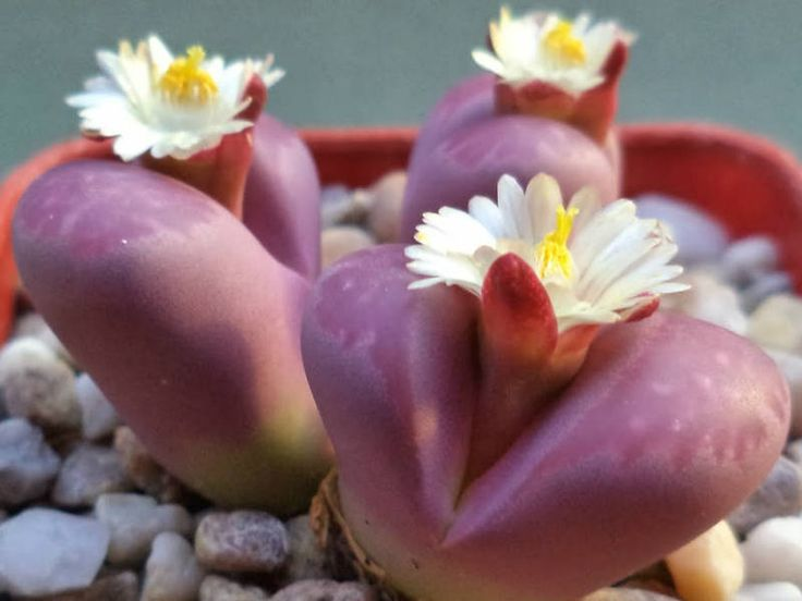 Lithops optica 'Rubra' (Living Stones) → Plant characteristics and more photos at: http://www.worldofsucculents.com/?p=5003