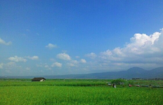 Rice field in Ambarawa, Central Java, Indonesia