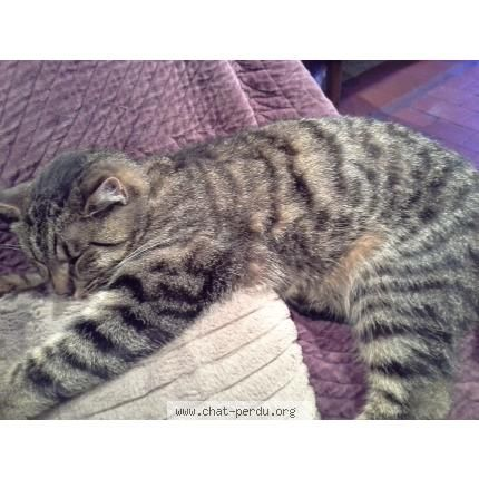 Perdu chat, noir, marron, gris, mâle, poils courts, pelage tigré. Perdu le 08/03/2015 45530 COMBREUX (FR).