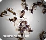 Killing ants naturally with ant exterminators from your pantry, garden and fridge