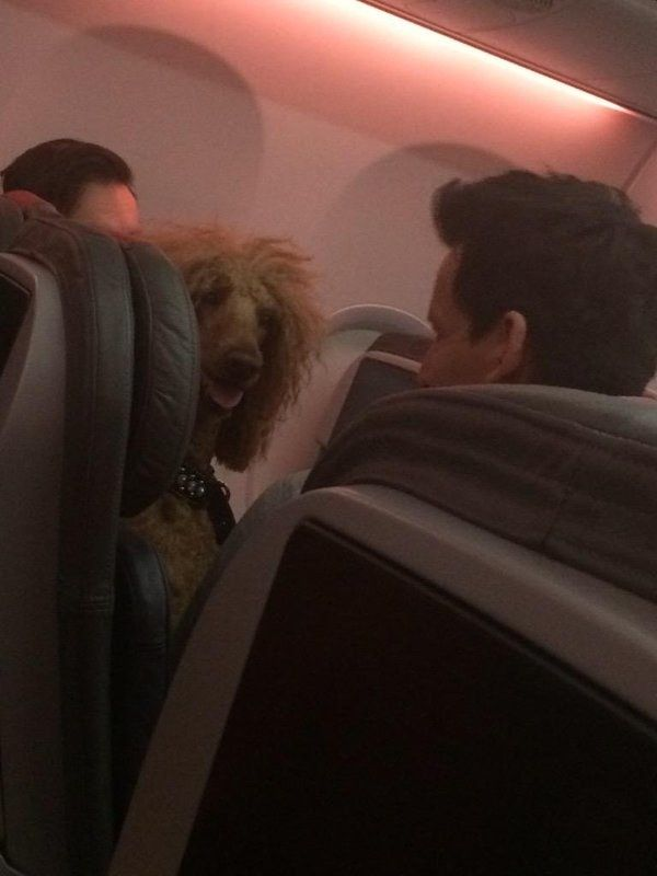 This fabulous hound who would like it if you could stop kicking her seat. | Just A Bunch Of Beautiful Dogs On Planes