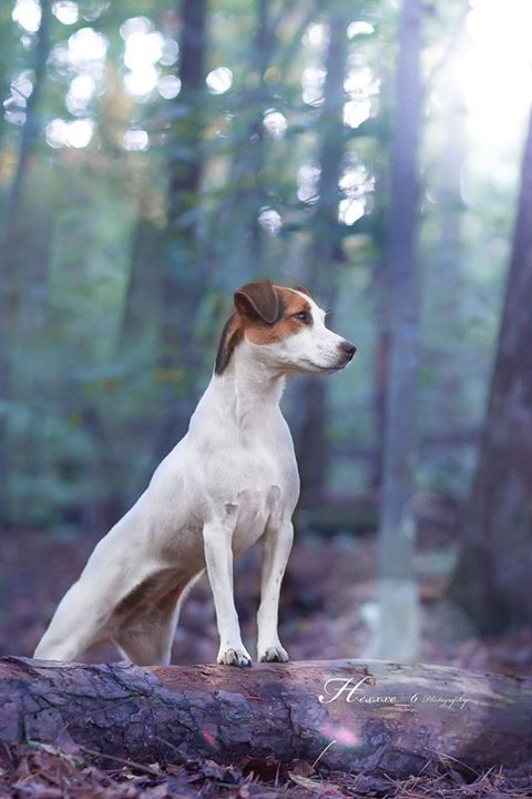Parson Jack Russell Terrier by Heavenly Pet Photography