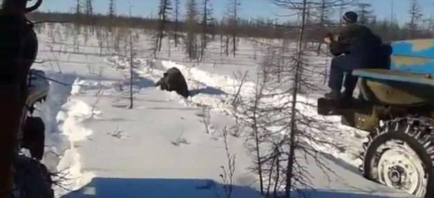 La vidéo d'un ours brun écrasé volontairement par des camions et frappé à mort par les chauffeurs choque la Russie