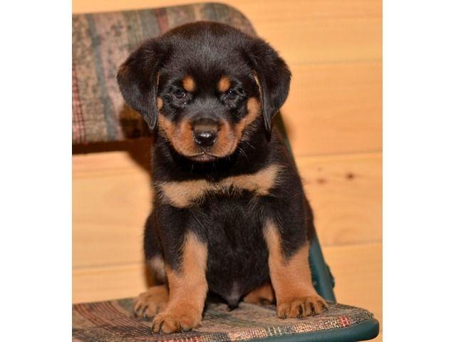 Stunning Rottweiler Puppies Rottweiler Puppies Rottweiler Puppies