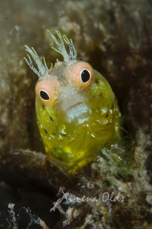 roughhead blenny acanthemblemaria aspera under the sea scary