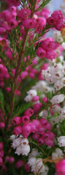 Heath or Heather flowers - Pink flowers