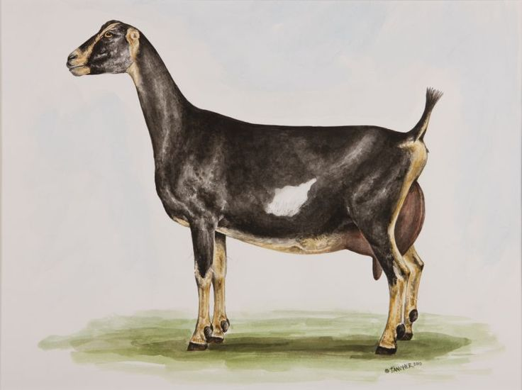 Top 25 Ideas About 4h Dairy Goat Project On Pinterest