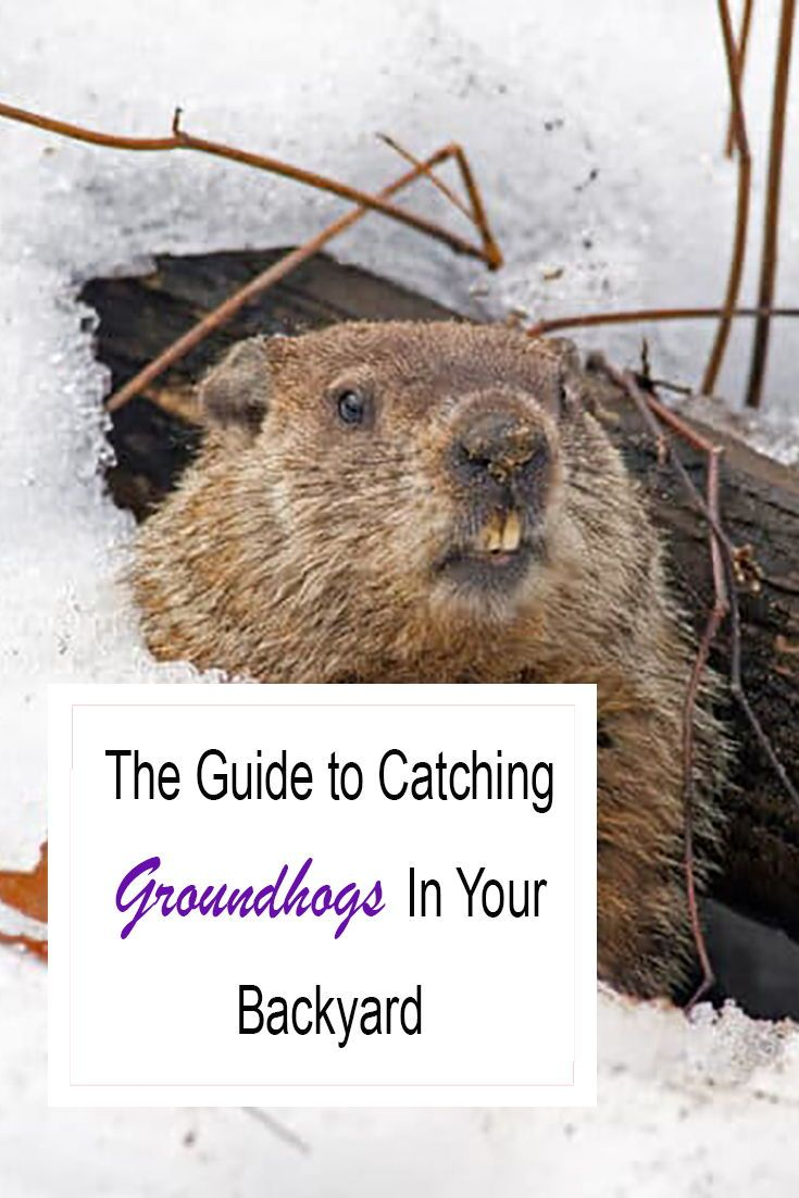 How To Catch A Groundhog In Your Backyard Quickly 2021 Own The Yard Backyard Groundhog Backyard Structures