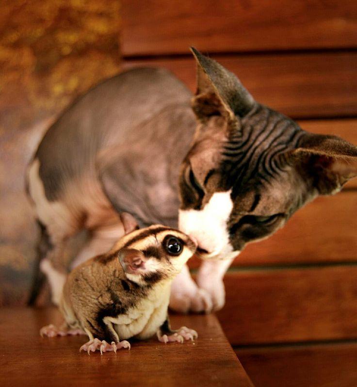 """El amor no entiende de razas, edades y sexo"". #sphynx #sphinx #sphynxlair #sphynxofinstagram #cat #cutecat #sugarglider #petauro #petaurodelazucar #sugargliderlover #gatosdeinstagram #hermanos #familia #family #sphynxclub #besos #sanvalentin #sanvalentinesday"