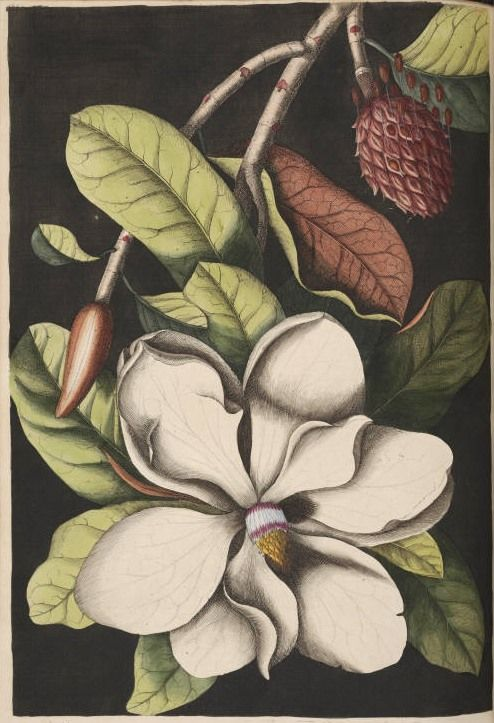 Vintage southern magnolia tree drawing from 1754. http://www.reusableart.com/trees-05.html free prints