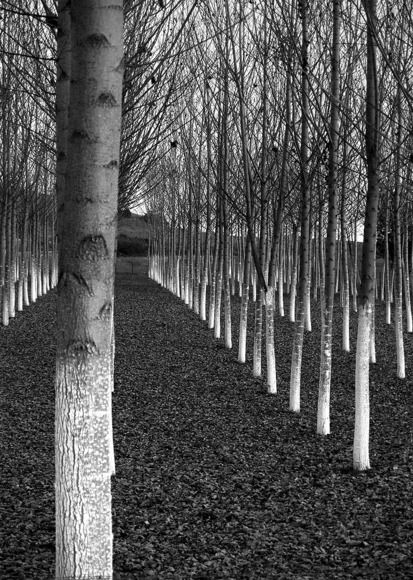 "Nikos Despiniadis   Greece        ""Symmetry""   Poplar trees near Drama city, Macedonia, GREECE"