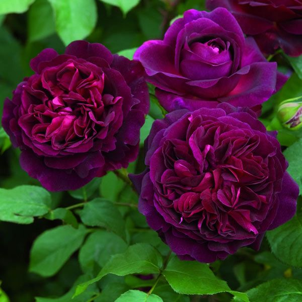 "Rosa ""Munstead Wood"" (shrub). Fast-growing shrub rose with a wonderful fruity fragrance. Flowers June to September"