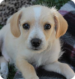 Jack Russell Terrier x Beagle Mix