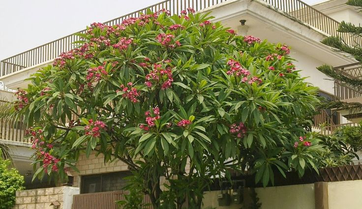 how to start a frangipani tree from seeds