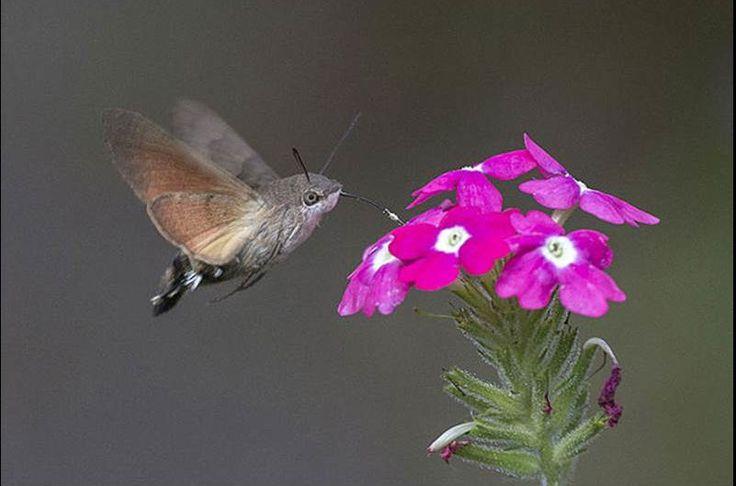 kolibri havik mot