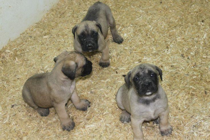 English mastiff puppies for sale - these english mastiff puppies are for sale at http://www.network34.com/dogsbreed/english-mastiff-puppies-for-sale-pa-md-ny-nj-dc/