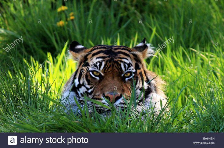 Tigerpumping