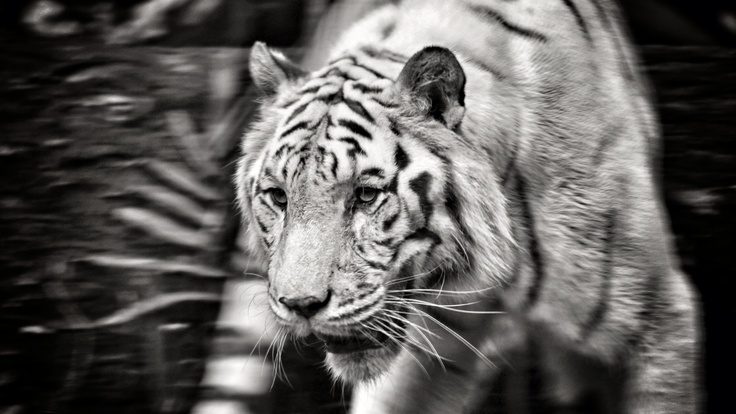 Movement - graceful, powerful, white tiger