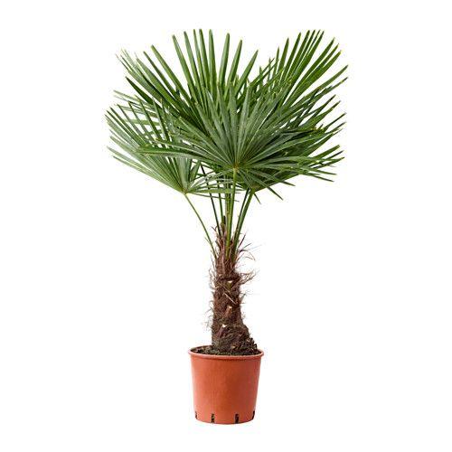 IKEA - TRACHYCARPUS FORTUNEI, Pflanze, Grünpflanzen und Übertöpfe im persönlichen Stil beleben die Einrichtung.