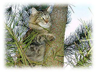 Gata bosque de noruega trepando a un pino!!,bosque noruego,bosque de noruega val de cambs, bosque de noruega, val de cambs cattery, bosques de noruega criadero, bosques de noruega criadores, gatitos bosque de noruega, bosque noruega gato, bosques noruega gatos