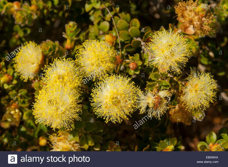 Melaleuca megacephala in Kalbarri NP, WA, Australia Stock Photo