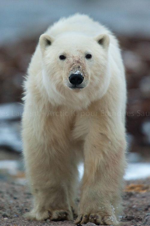 La rencontre avec un ours polaire, selon Etendues Sauvages