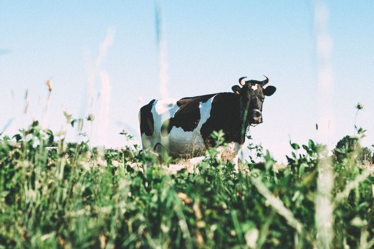 A low-angle shot of a black and white dairy cow grazing on green grass