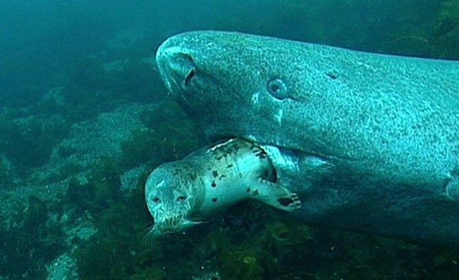 Greenland shark eating a seal