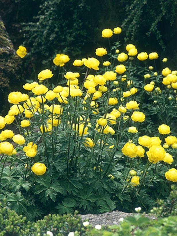 11 striking bog plants gardens sun and perennials for Perennial pond plants