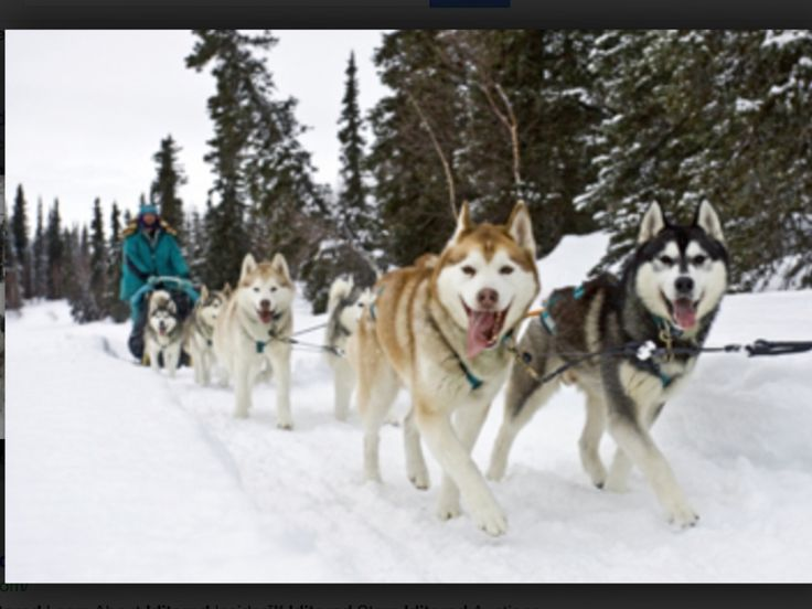 Post Card PC Alaska Iditarod Dog Mushing Sled Yukon Quest Postcard New 723748224070 On EBid Canada