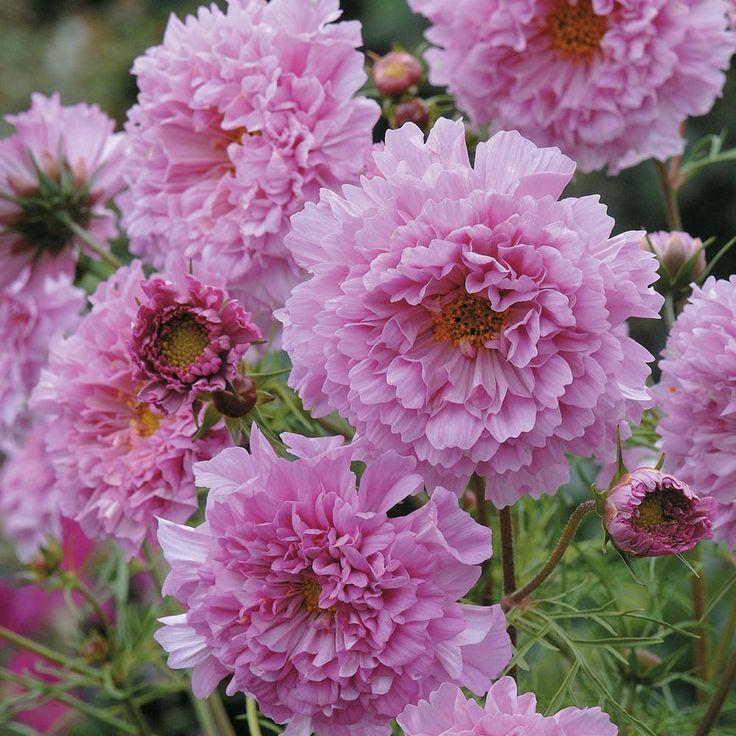 Cosmos bipinnatus 'Double Click Rose Bonbon' - Half-hardy Annual Seeds - Thompson & Morgan