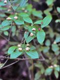 Euonymus americanus (American strawberry bush). 5-12'H x 3-5'W. Airy, deciduous shrub. Z 7-9. Well-drained soil.