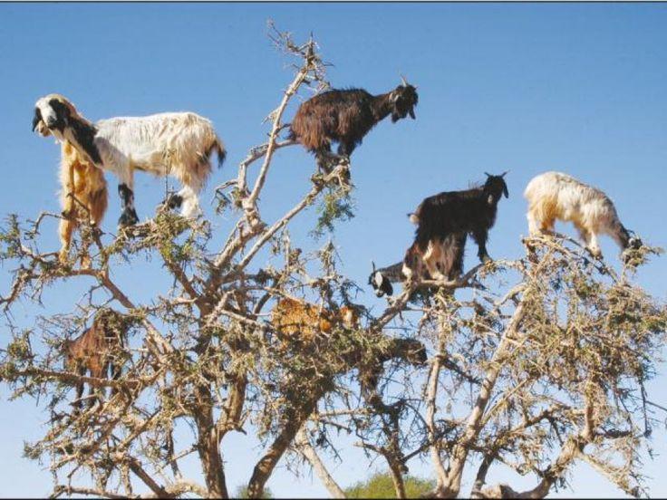 Au Maroc, les chèvres perchées dispersent les graines des arbres en les crachant  - Sciencesetavenir.fr