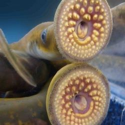 This wasn't expected: The sex of a strange fish is determined by access to food.