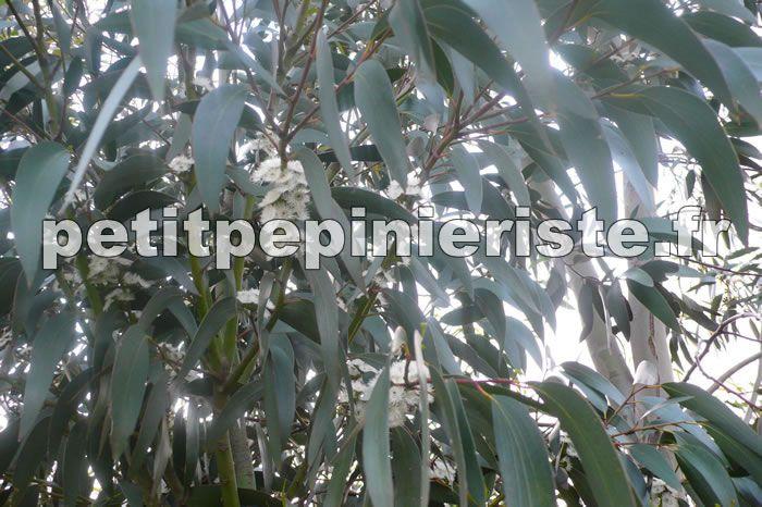 feuille de l'eucalyptus niphophila