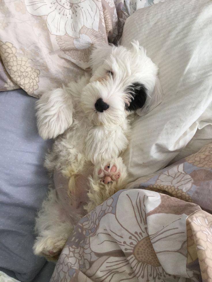 Comfy... Sealyham Terrier