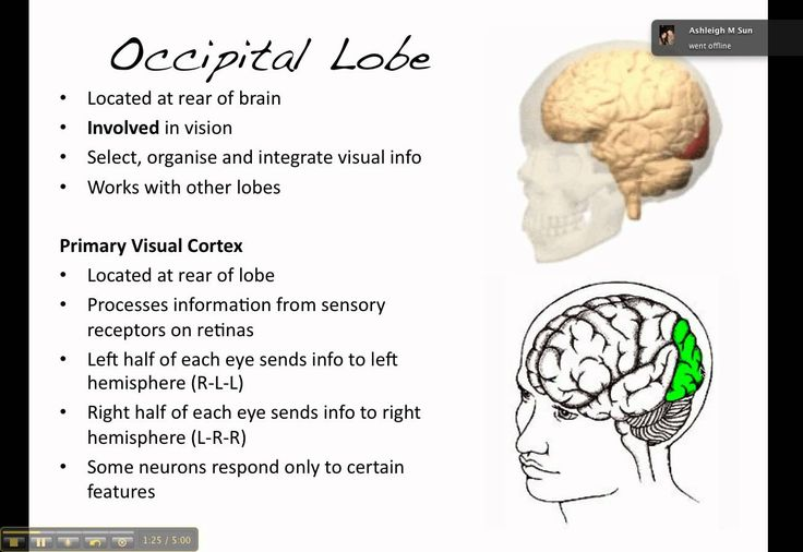 Occipital lobe: processes visual infor from eyes in primary visual cortex. Located near the rear and bottom of each cerebral hemishphere.