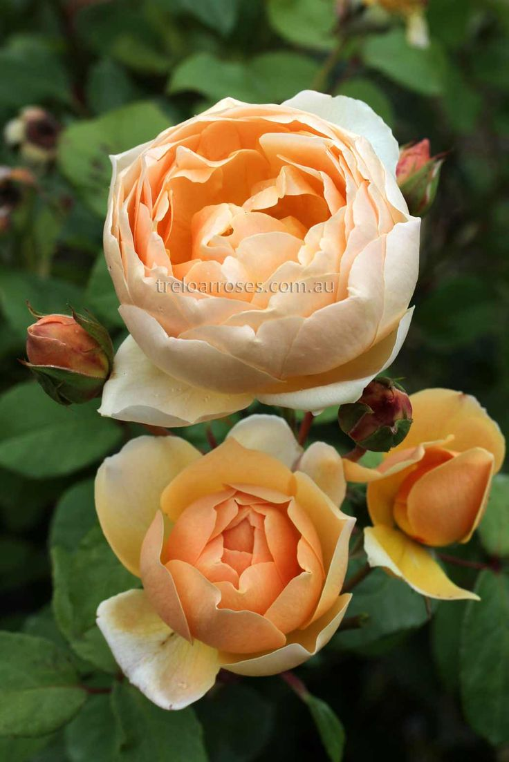 Jude the Obscure - Very large, highly fragrant flowers that are incurving. Colour is pale yellow to apricot.   Very strong, healthy growth that repeats well.   There are few more magnificent roses than Jude the Obscure. 1.5m tall x 1.2m.