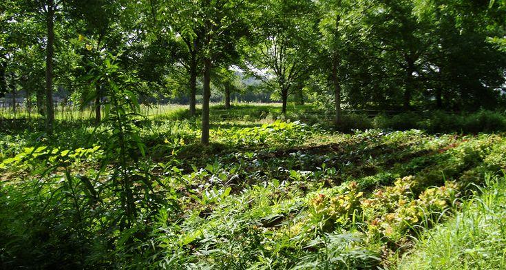 Dans l'Herault, Denis Flores a racheté un terrain agricole planté d'arbres. Plutôt que de couper ces arbres pour créer un champ plane, il a préféré se lancer dans le Maraichage en AgroForesterie : Il cultive plus d'un hectare huit cent de légumes sous la canopée, profitant ainsi de l&