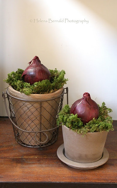 pretty potted onions