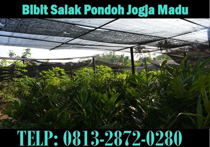 Kebun Bibit Salak Pondoh Jogja Madu. Pemesanan HUB : 081.328.720.280 (Bpk. Subambang) Aktif 24 jam nonstop.