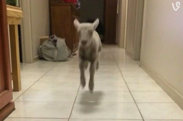 LOOK WHAT WINTER THE LAMB DOES WHEN SHE CALLS HIM. | This Bouncing Lamb Vine Account Is Possibly The Happiest Thing On The Whole Internet